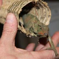 kameleons_20005_20_Medium_.jpg