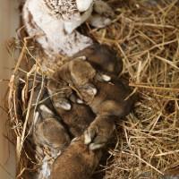 Nestje jonge wilde konijnen en hun surrogaatmoeder