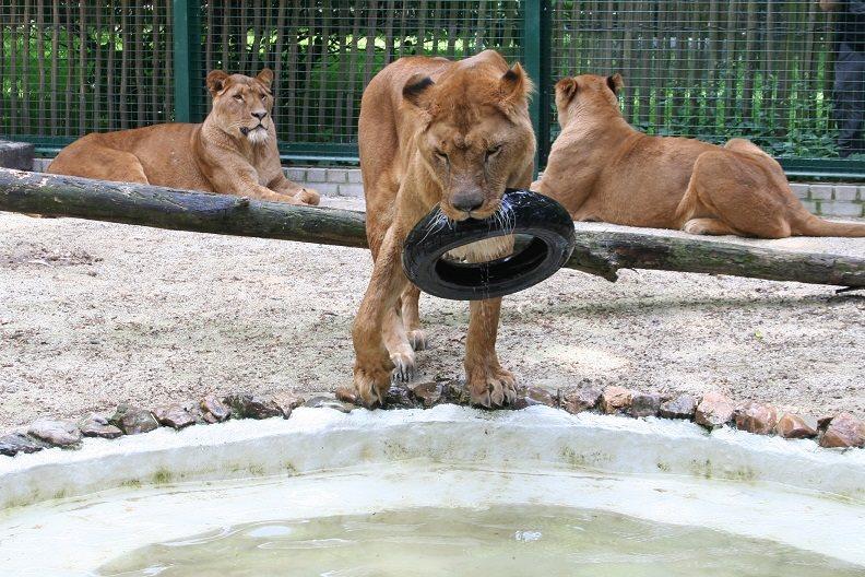 4 leeuwen naar Schotland!