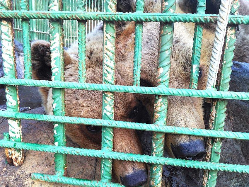 Beren uit Albanië...