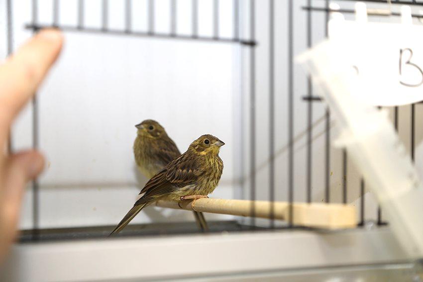 Limburgse vogelzwendelaar ontmaskerd...