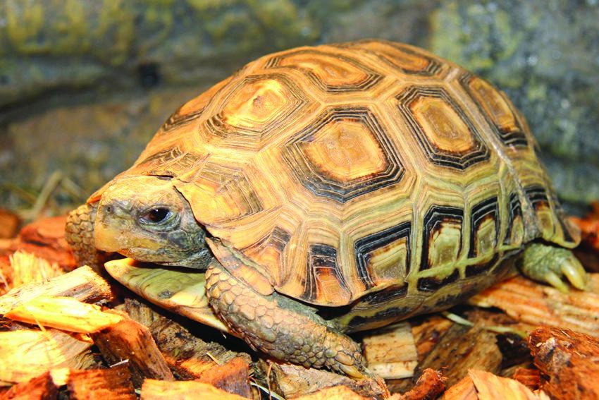 Gladrandklepschildpad uit Angola