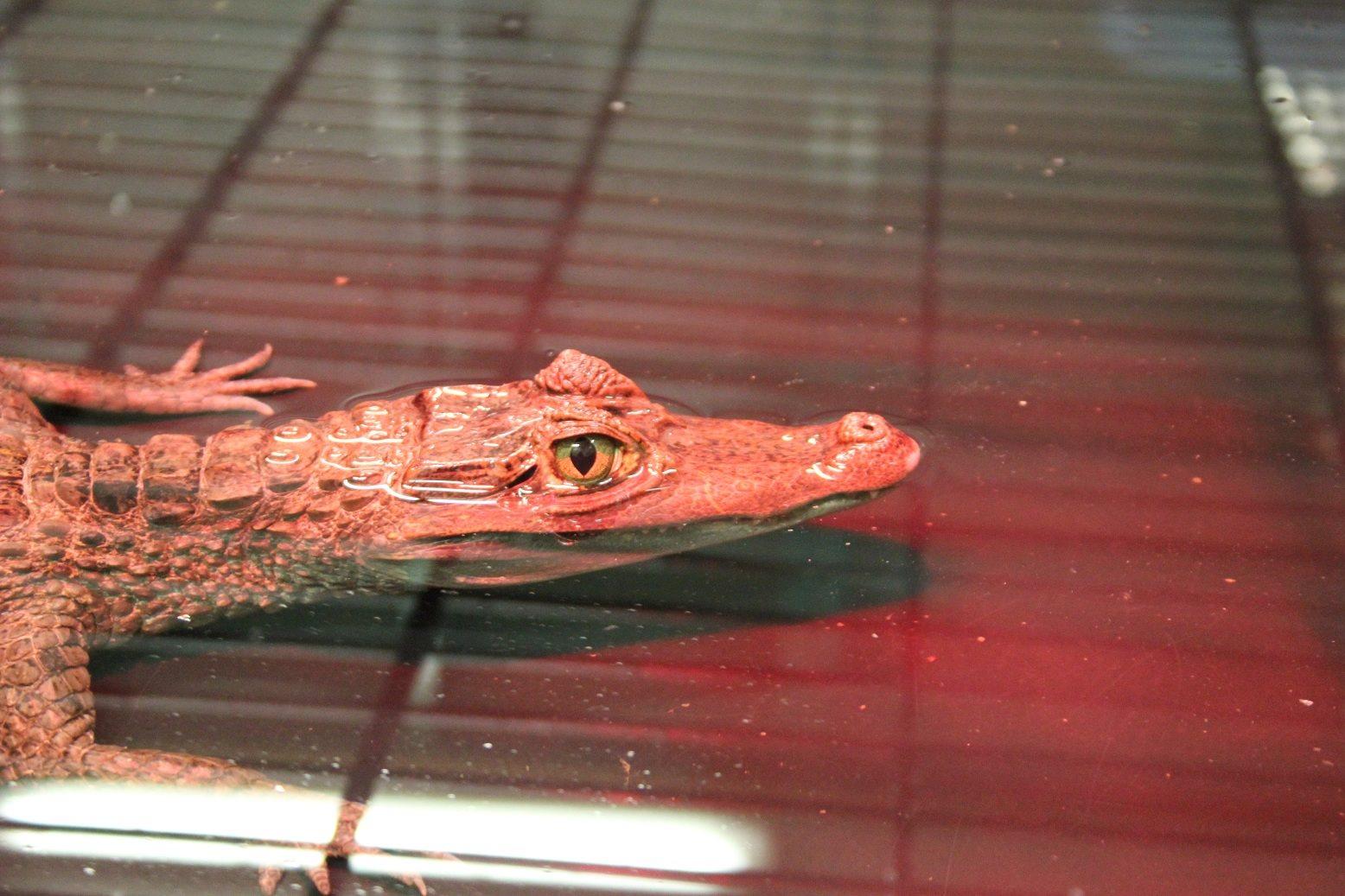 Opnieuw inbeslagname van reptielen