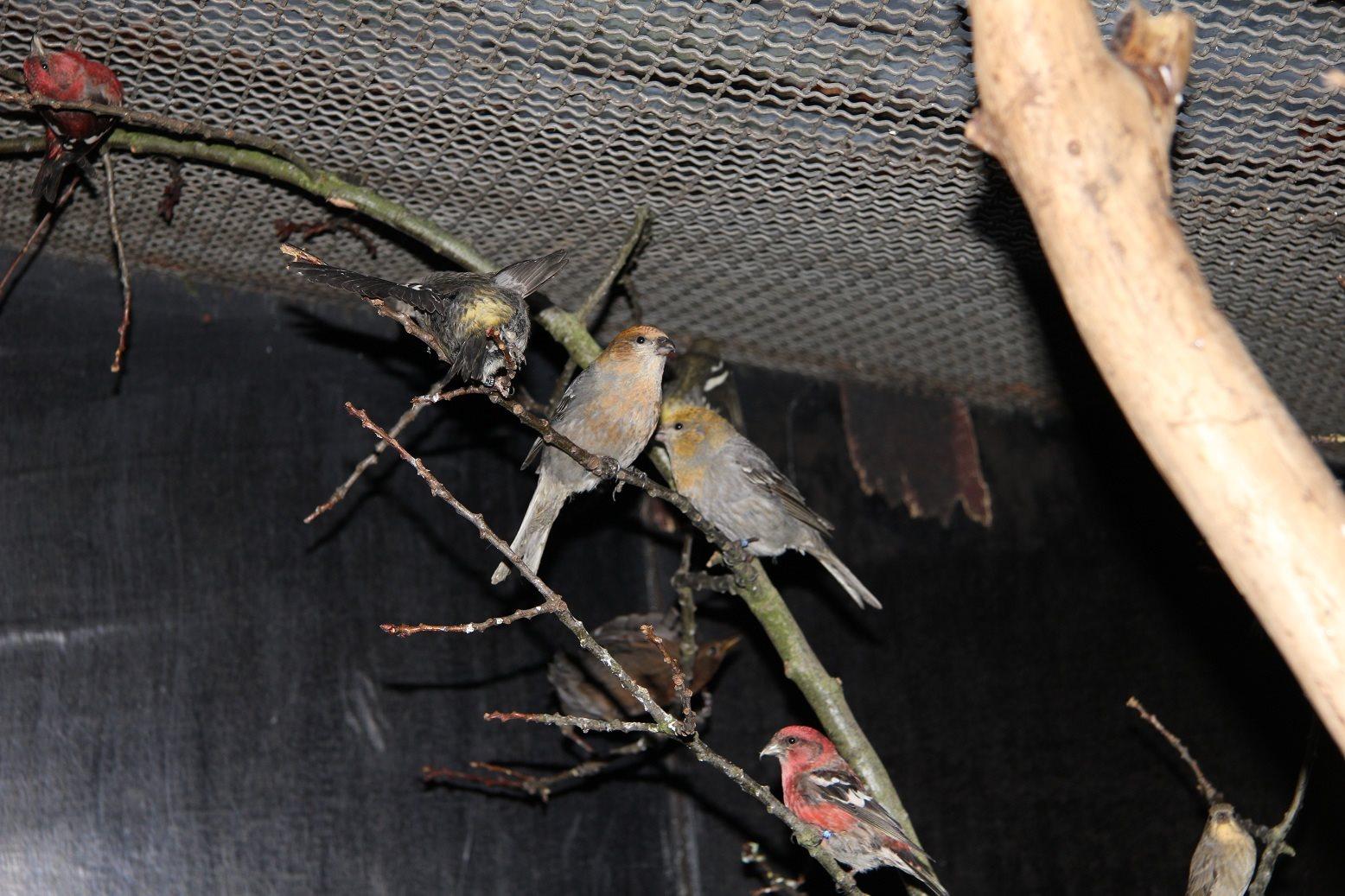 Grote inbeslagname zangvogels...