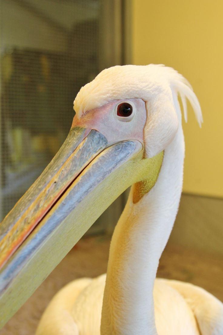 Roze pelikaan gevangen!