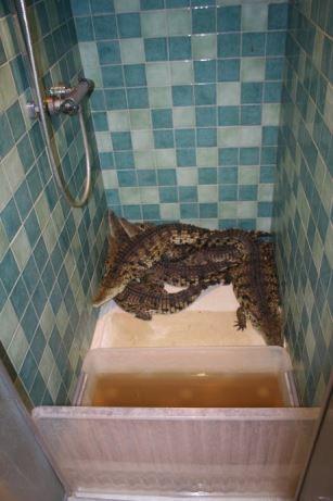 Krokodillen zijn gesetteld...
