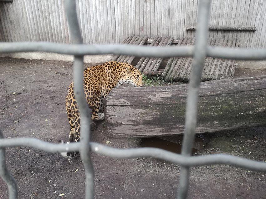 Twee luipaarden gered...