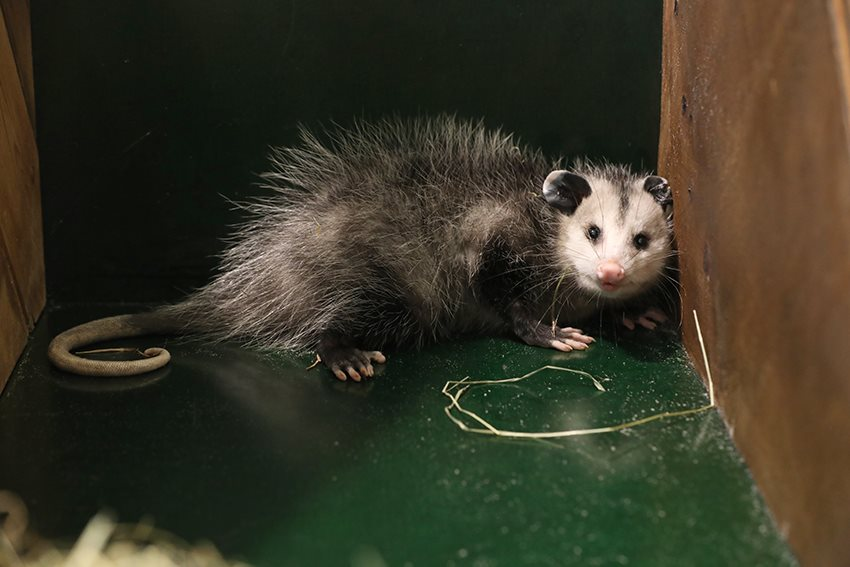 Opossum als verstekeling aangetroffen...