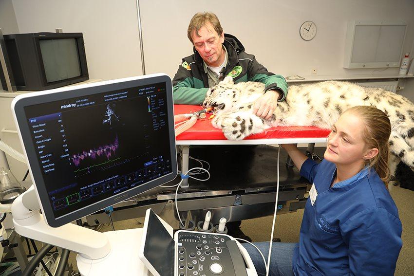 Hartonderzoek voor 3 sneeuwluipaarden