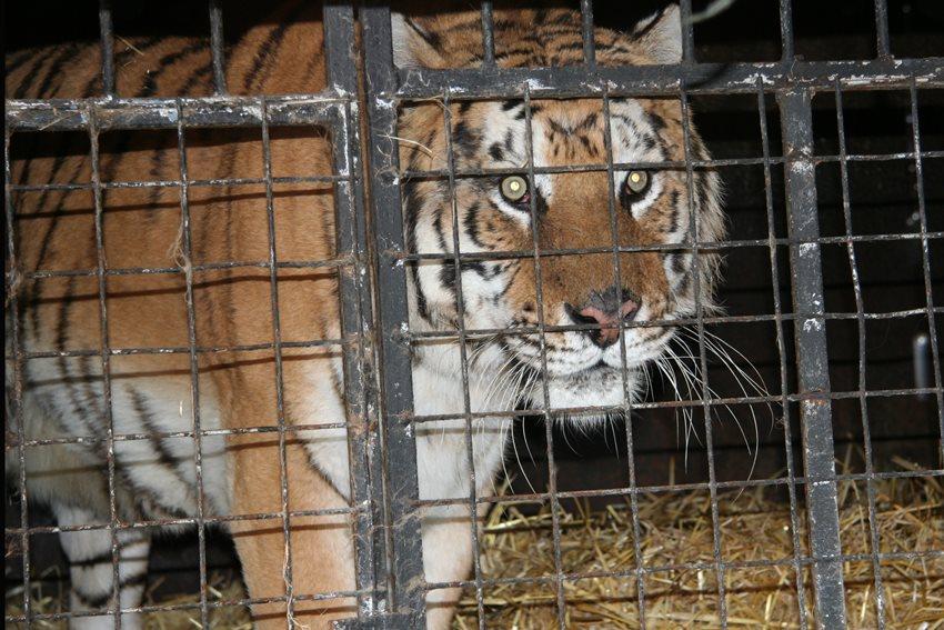 Natuurhulpcentrum vangt 2 tijgers op...