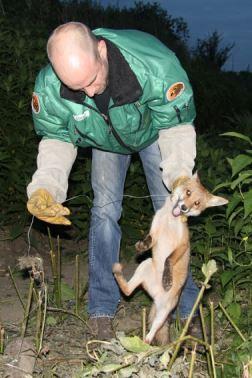 Jonge vos bevrijd uit strop