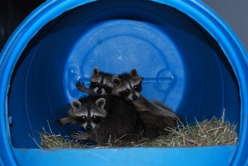 Wasberen uit quarantaine...