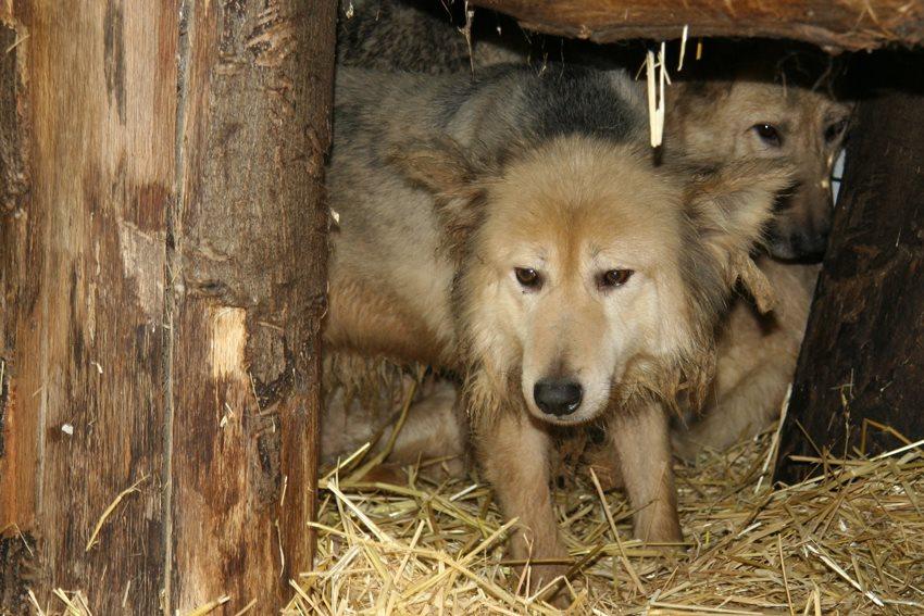 Wolfhonden zoeken nieuwe thuis...
