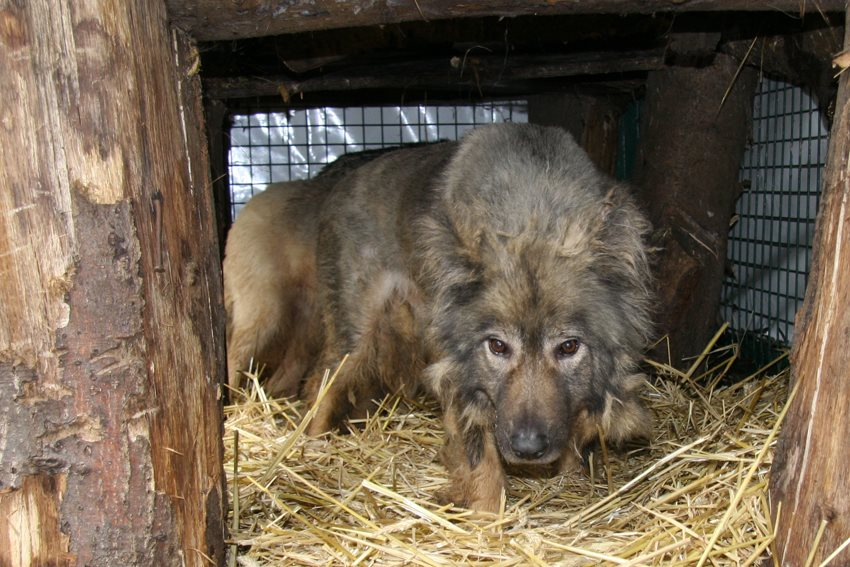 6 hybride wolven in beslag genomen...