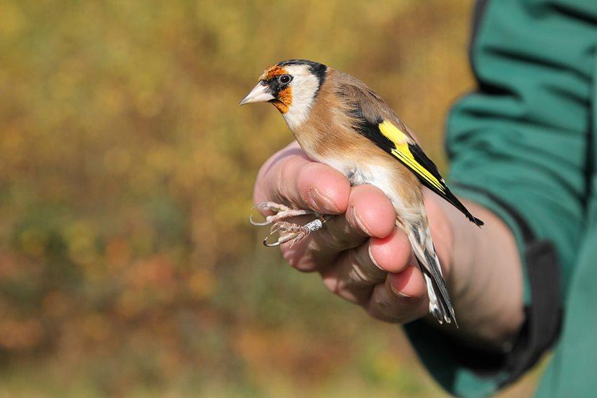Illegale vogelvangst...