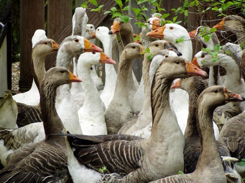 Tamme ganzen en eenden...