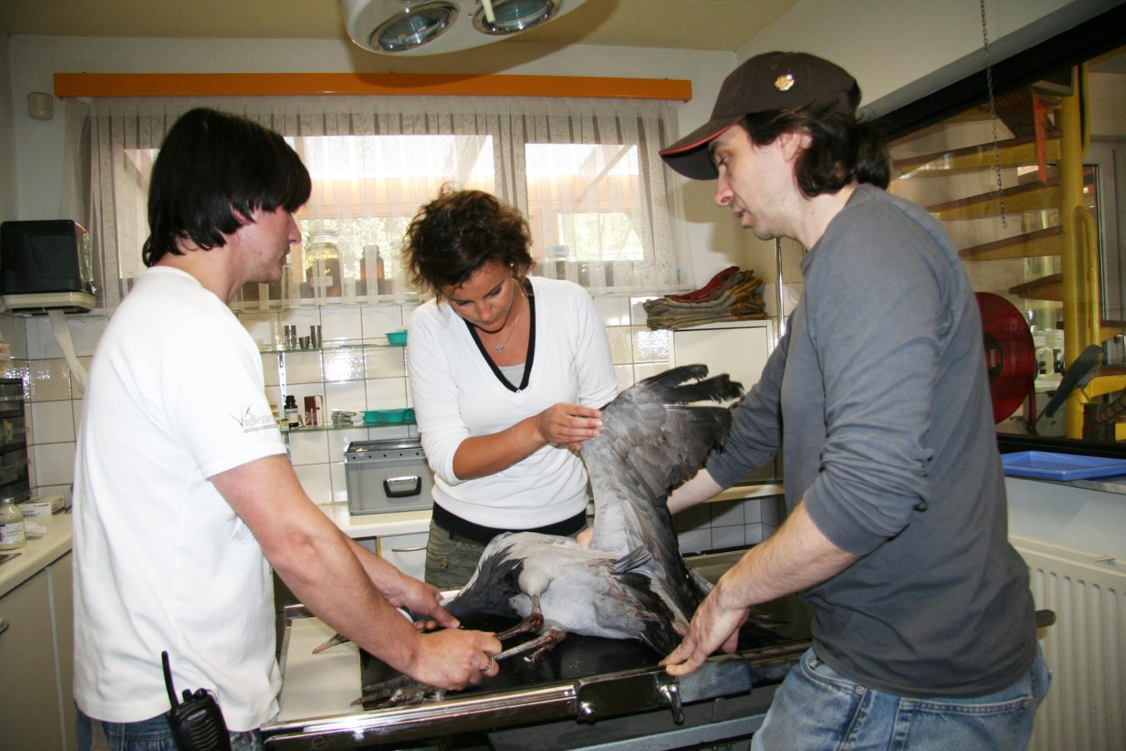Jufferkraanvogel gevangen...