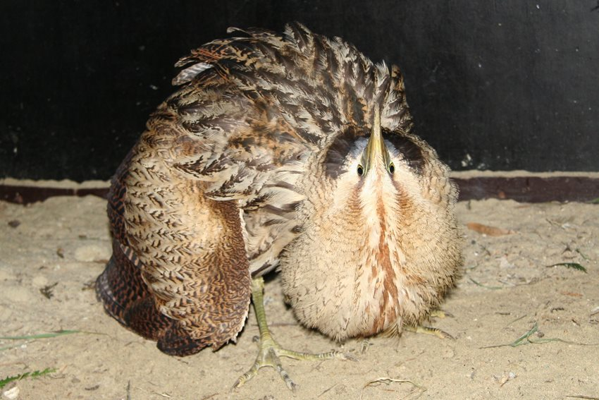 Ontsnapte valkeniersvogel doodt 3 kippen...
